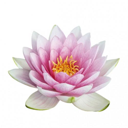 Lotus (fleur de)