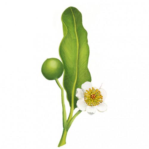 Tamanu (huile de noix de)