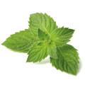 Mint - Menthol