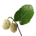 Chinese White Mulberry