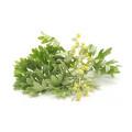 Medicinal Sage Extract