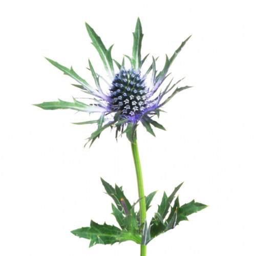 Cellulosomes® Eryngium Maritimum (Stranddistel)