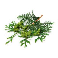 Thuja (essenz)