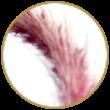 ImperataCylindrica